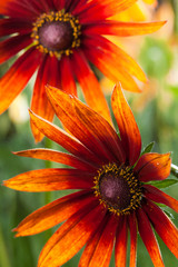 Red Yellow Rudbeckia flower