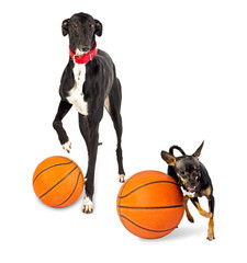 Greyhound dog and toy dog  with a basketballs