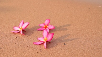 Frangipani  flowers on the beach
