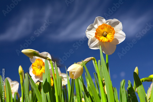 daffodil and blu sky