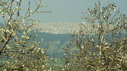 Stock Video Footage of a city seen through almond branches shot in Israel at 4k with Red.
