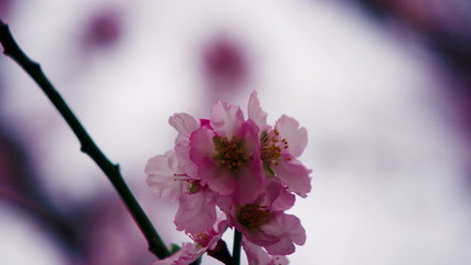 Stock Video Footage of pink blossoms on a tree shot in Israel at 4k with Red.