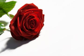 Rosenblüte rot, auf hell