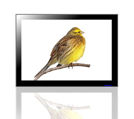 LED TV screen and Yellowhammer isolated on white