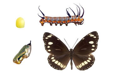 Butterfly - Common Australian Crow, Euploea core
