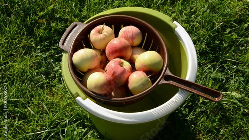 summer apples washing in the green bucket