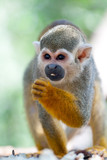 Little squirrel monkey eating seed