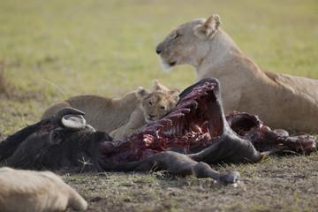 pasto dei leoni
