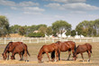 brown horses farm scene