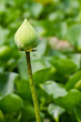 Green lotus Flower of buddhist