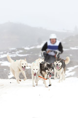 Carrera de perros con trineos