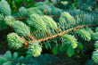 Branch of the blue spruce