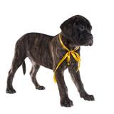 Brindled bullmastiff puppy standing poster