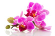 Tropical pink orchid