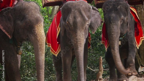 Group of Asian or Asiatic elephants for tourism, Elephas maximus