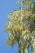 canvas print picture - flowering Eucalyptus branches against blue sky
