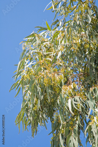 canvas print picture flowering Eucalyptus branches against blue sky