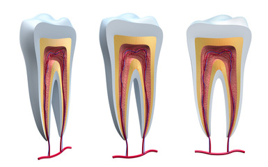 Anatomy of healthy teeth in details. Isolated 3D image