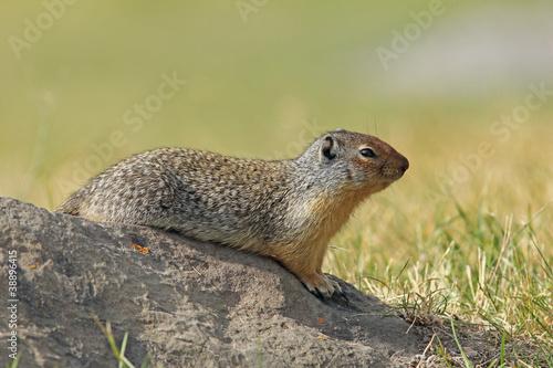 Aluminium Eekhoorn Columbian Ground Squirrel - Banff National Park, Canada