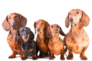 five Dachshund Dogs sitting on isolated white