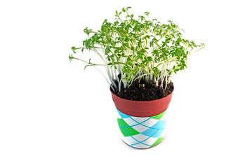 Cress salad in the pot