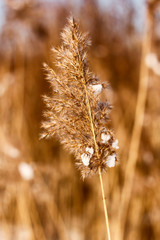 dried reed in the winter with smoothed background