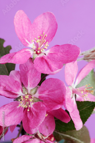 wild apple flowes