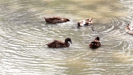Ducks are swimming in the canal.