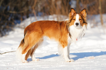 Sable (red) border collie standing on the snow in winter
