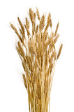 Sheaf of ears of wheat on isolated white background