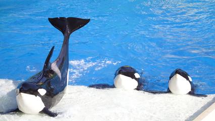Three Orca Killer Whales Perform