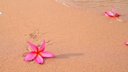 Frangipani flowers on the beach in the morning
