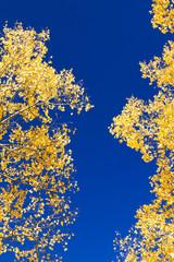 Yellow Aspen Leaves On Blue Sky