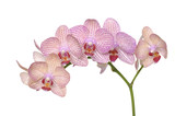 Branch of pink orchids isolated