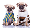 two dressed pug puppy dogs