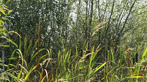 Cattails Blowing in the Breeze Outside on a Sunny Summer Day