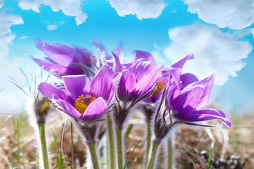 Flowers Pasqueflower (Pulsatilla patens)