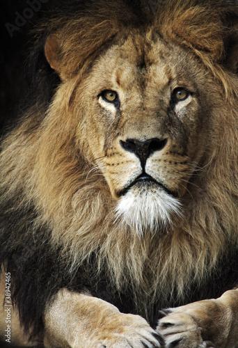 Fototapeten,wildlife,natur,löwe,afrika