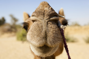 Close up of a camel, focus on the nose.