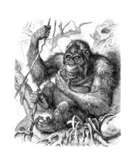 OrangOutang