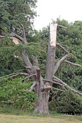 an old broken tree
