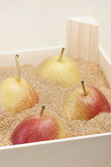 Asian pears in a box filled with sand for long term storage