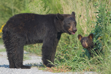 Black bear mother with cub. Alligator River NWR