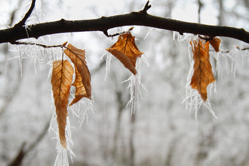 Frozen leaves