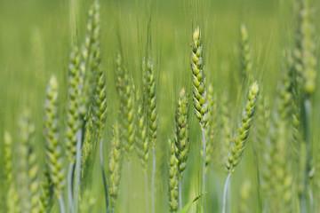 wheat in green field