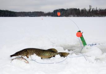 Swedish winter pike fishing
