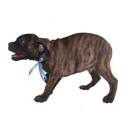 Playful puppy barking