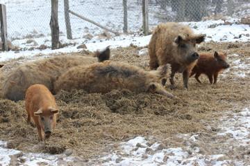 Wollschweine mit Ferkeln im Tierpark Sababurg