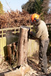 Chain-sawing a slice of tree trunk