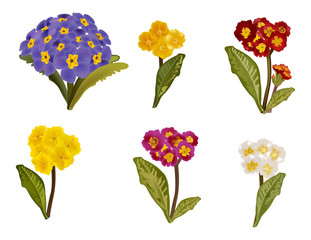 primula collection isolated on white background
